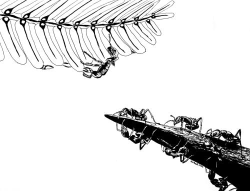 Lexi Menth, Ants & Acacia, drawing